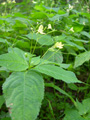 Kleines Springkraut/Impatiens parviflora