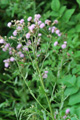 Cardo campestre/Cirsium arvense