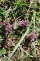 Falsa ortica purpurea/Lamium purpureum