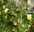 Viola dei campi/Viola arvensis