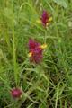 Spigarola campestre/Melampyrum arvense