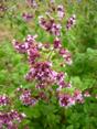 Origano comune/Origanum vulgare