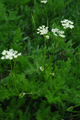 Fenouil des Alpes/Meum athamanticum