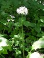 Bärlauch/Allium ursinum