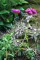 Bart-Nelke/Dianthus barbatus