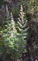 Thalictrum simplex ssp.bauhinii