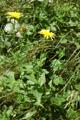 Berg-Pippau/Crepis bocconei