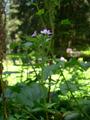 Epilobe des montagnes/Epilobium montanum