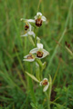 Ophrys abeille/Ophrys apifera