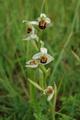 Bienen-Ragwurz/Ophrys apifera