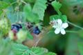 Rovo bluastro/Rubus caesius
