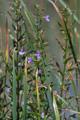 Blaue Gauklerblume/Mimulus ringens