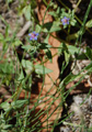Centonchio azurro/Anagallis foemina