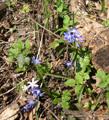 Scilla silcestre/Scilla bifolia