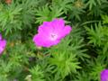Blutroter Storchenschnabel/Geranium sanguineum