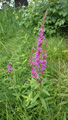 Blut-Weiderich/Lythrum salicaria
