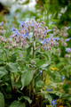 Bourrache officinale/Borago officinalis