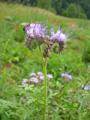 Phacélie à feuilles de tanaisie/Phacelia tanacetifolia