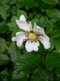 Rosa corimbifera/Rosa corymbifera