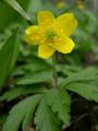 Anémone jaune/Anemone ranunculoides
