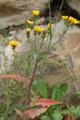 Radicchiella dei tetti/Crepis tectorum