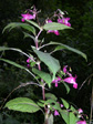 Drsiges Springkraut/Impatiens glandulifera