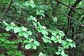 Alisier blanc/Sorbus aria