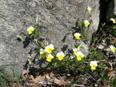 Gewöhnliches Feld-Stiefmütterchen/Viola tricolor