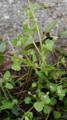 Efeublättriger Ehrenpreis/Veronika hederifolia
