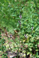 Verveine officinale/Verbena officinalis