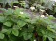 Fraisier vert/Fragaria viridis