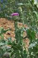Eselsdistel/Onopordum acanthium