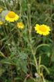 Färber-Hundskamille/Anthemis tinctoria
