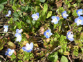 Veronica filiforme/Veronica filiformis