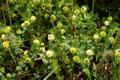 Trèfle champêtre/Trifolium campestre