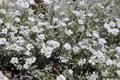 Peverina tomentosa/Cerastium tomentosum