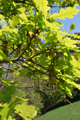 Chêne pubescent/Quercus pubescens
