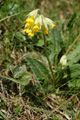 Primevère officinale/Primula veris
