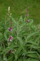 Echte Salbei/Salvia officinalis