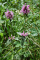 Echte Betonie/Stachys officinalis