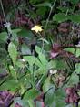 Geflecktes Johanniskaraut/Hypericum maculatum