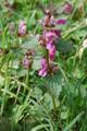 Falsa ortica macchiata/Lamium maculatum