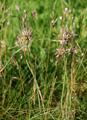 Gekielter Lauch/Allium carinatum