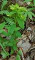 Gelbdoldige Wolfsmilch/Euphorbia flavicoma