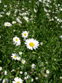 Gemeine Margerite/Leucanthemum vulgare