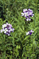 Violaciocca antoniana, Esperide/Hesperis matronalis