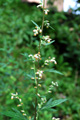 Armiose commune/Artemisia vulgaris