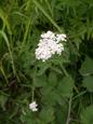Wiesen-Schafgarbe/Achillea millefolium