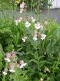 Gewöhnliche Klatschnelke/Silene vulgaris