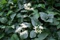 Clématite blanche/Clematis vitalba